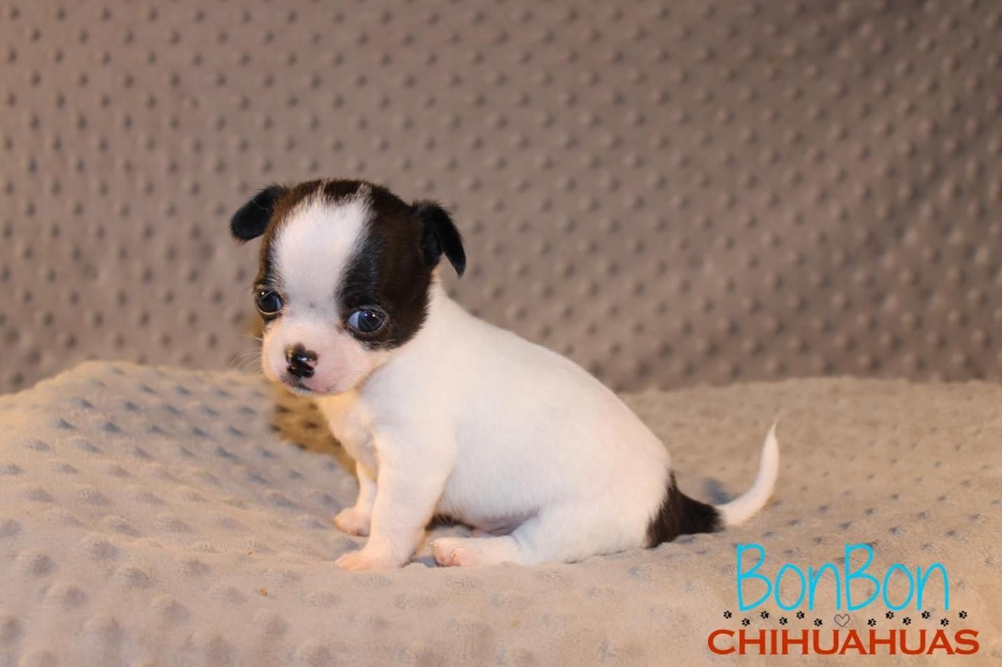 Chihuahua Puppies For Sale Chihuahua Puppies For Sale Chihuahua Chihuahua Puppies