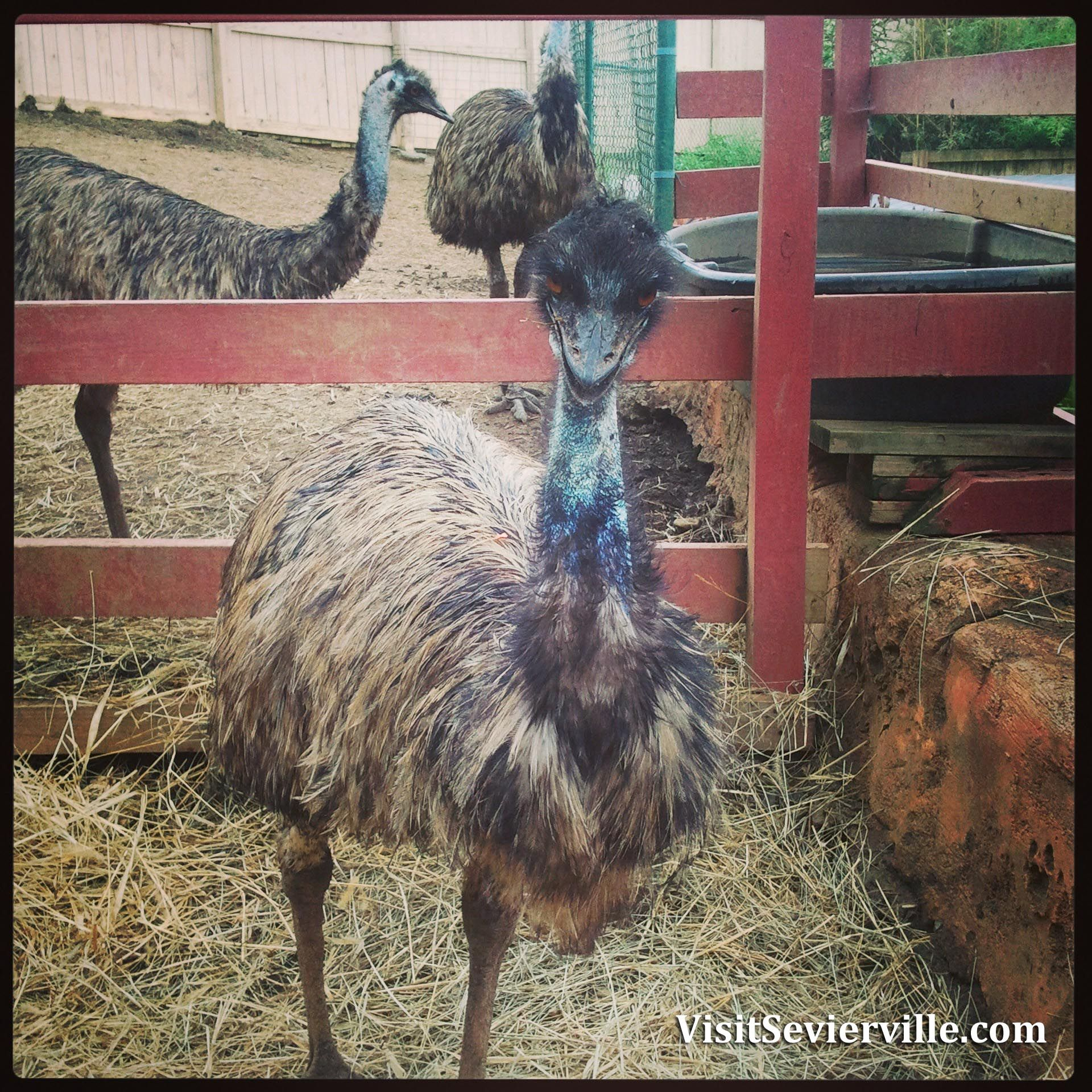 Emus At Rainforest Adventures Discovery Zoo Sevierville