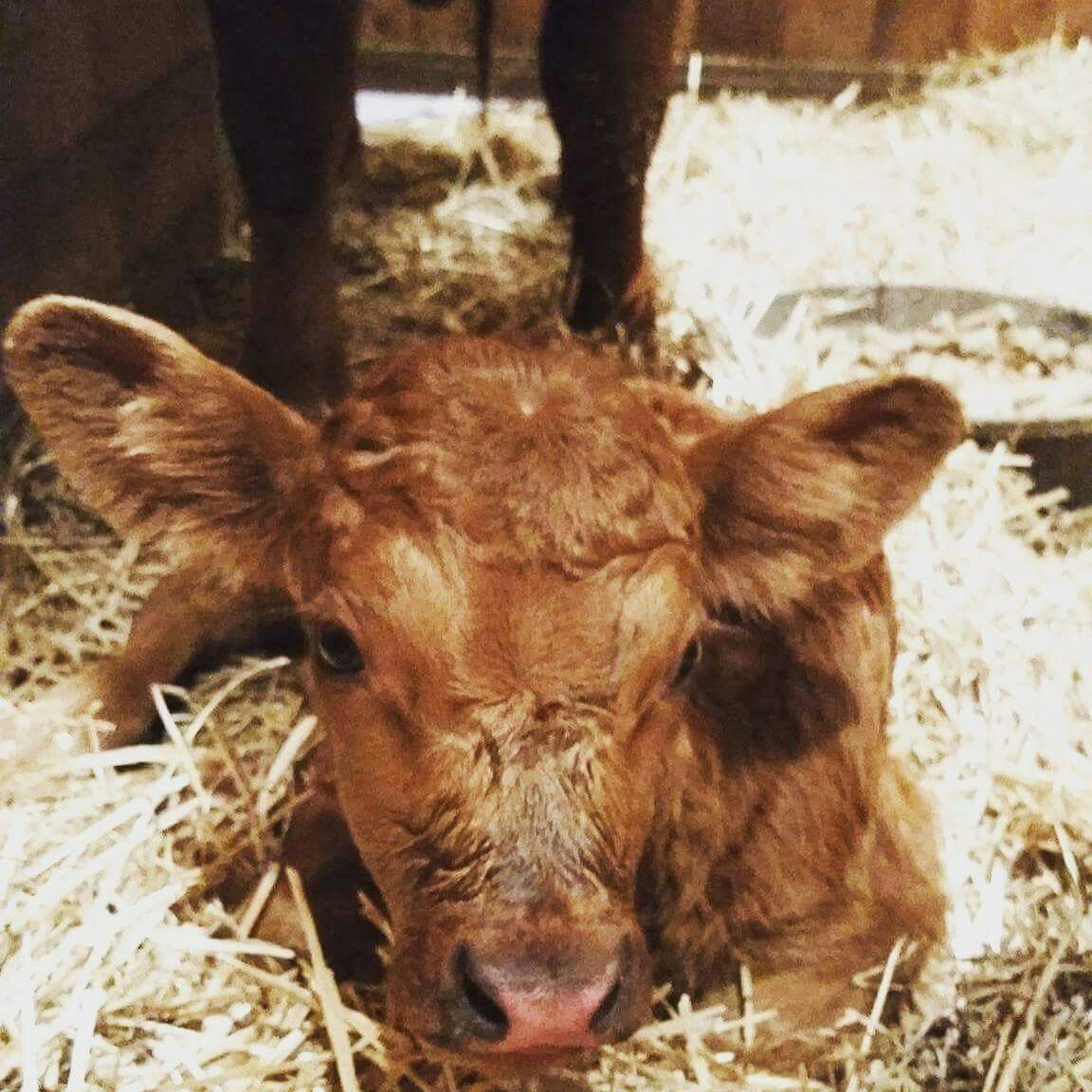 So happy to announce the new addition to our #zymoxfamily! Both momma and baby are healthy and safe. Such a cutie! #ZYMOXFamily #dextercattle #texas #texaslife #zymox