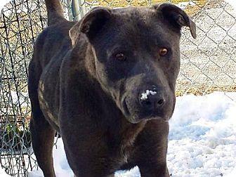 Tappahannock Va Cane Corso Dogo Argentino Mix Meet Grayson A Dog For Adoption Dog Adoption Cane Corso Pets