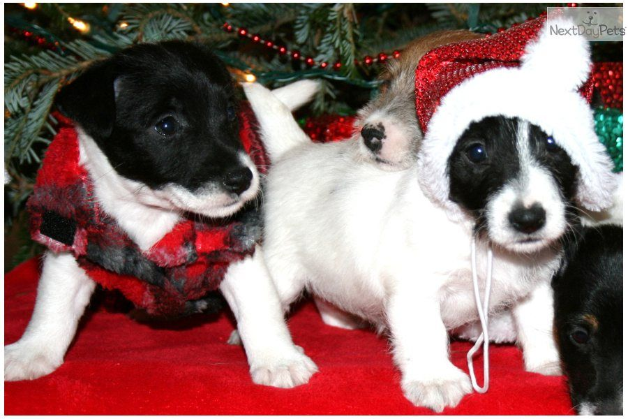images of christmas jack russells | READY FOR CHRISTMAS SHORTY JACK RUSSELL TERRIER