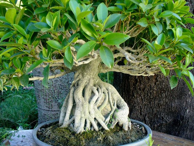 le ficus ginseng ficus microcarpa est une plante tr s utilis e en bonsa conseils de culture. Black Bedroom Furniture Sets. Home Design Ideas