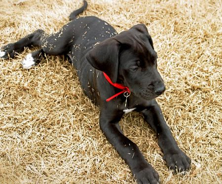 What my Great Dane puppy looked like before he gained 130 pounds.