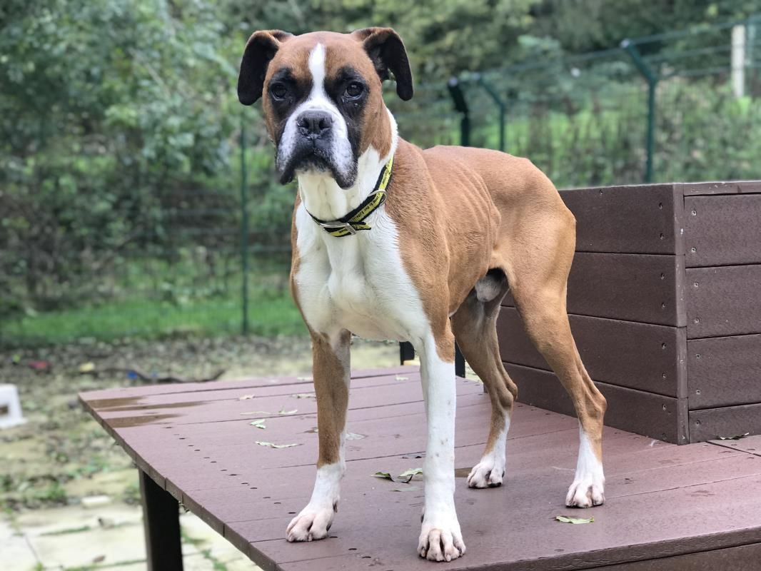 Adopt A Dog Marley Boxer Dogs Trust Boxer Dogs For Sale Dogs Dog Adoption