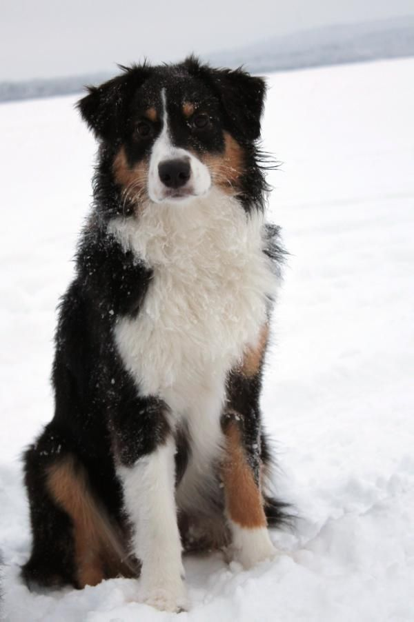 This Dog Looks Like My Old Dog Duke Who Went Missing A Couple Years Ago He A Was Mixed Another Breed Australian Shepherd Aussie Dogs Australian Shepherd Dogs