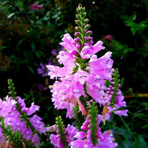 Shade Flowers Perennials Flowers Tree Of Life
