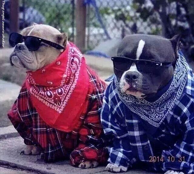 Pin On Pitbull Puppies
