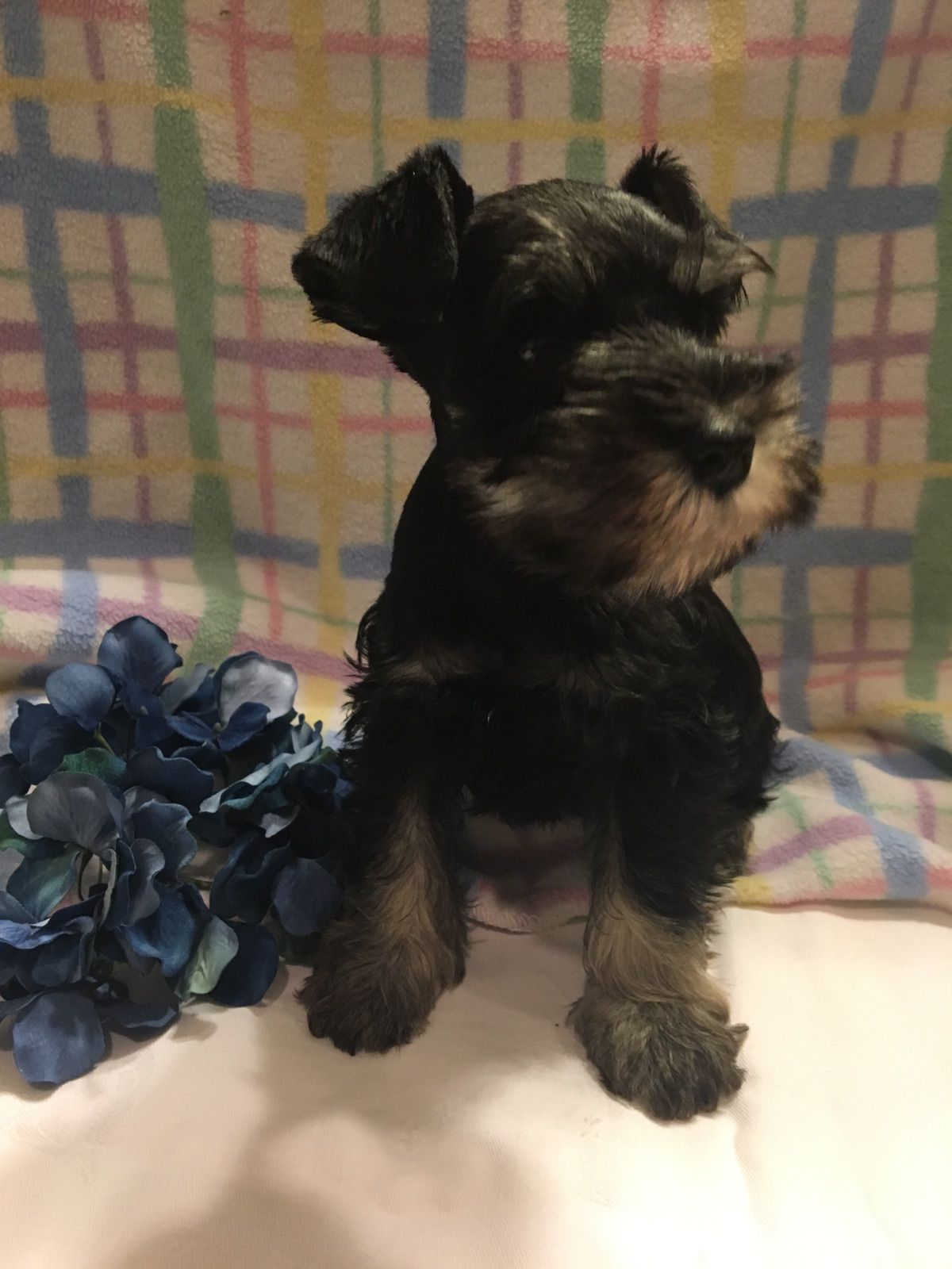 Miniature Schnauzer Breeders Schnauzer Puppies For Sale In Houston Texas Schnauzer Puppy Puppies Miniature Schnauzer Puppies