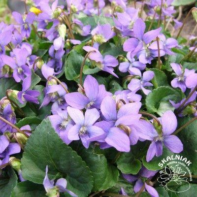 Fiolek Wonny Szkolka Roslin Ozdobnych Skalniak Garden Plants Viola