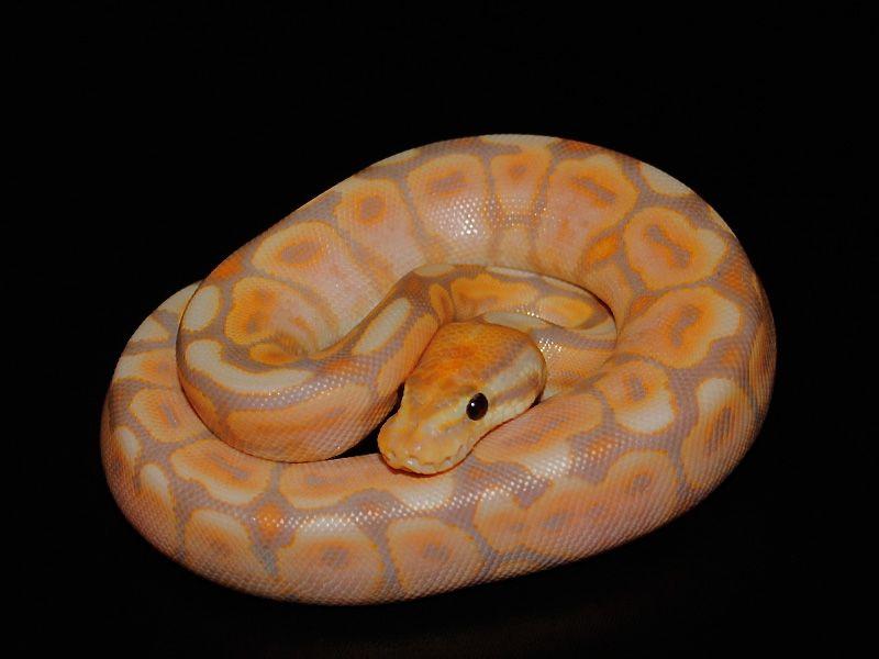 Black Pastel Spider Banana Ball Python Beautiful Snakes