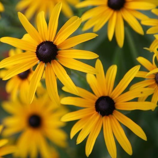 Black Eyed Susan Seeds Black Eyed Susan Black Eyed Susan Flower Flower Seeds Online
