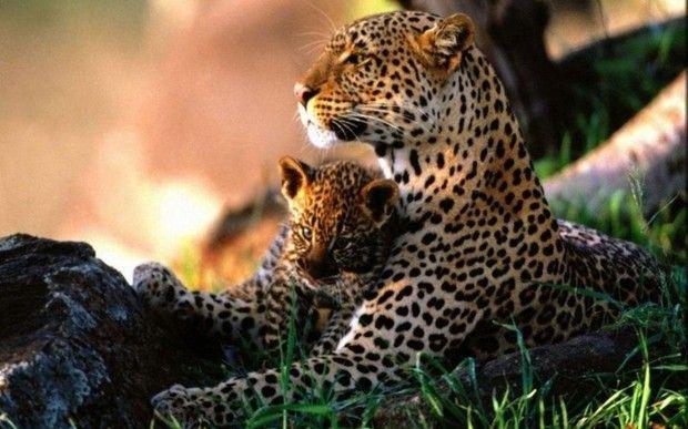 Jaguar Mama & Cub 2