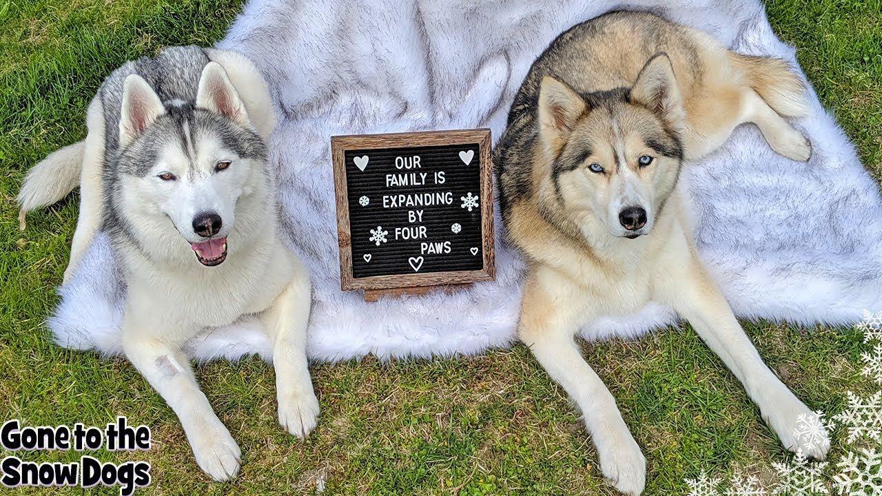 Husky Puppy News Puppy Gender Reveal Husky Puppy Cute Puppy