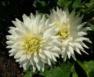 Resultado de imagen de flores dalias blancas en pinterest