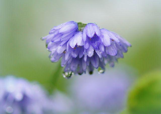 Allium sikkimense. Photo by Quirky Bird Gardener