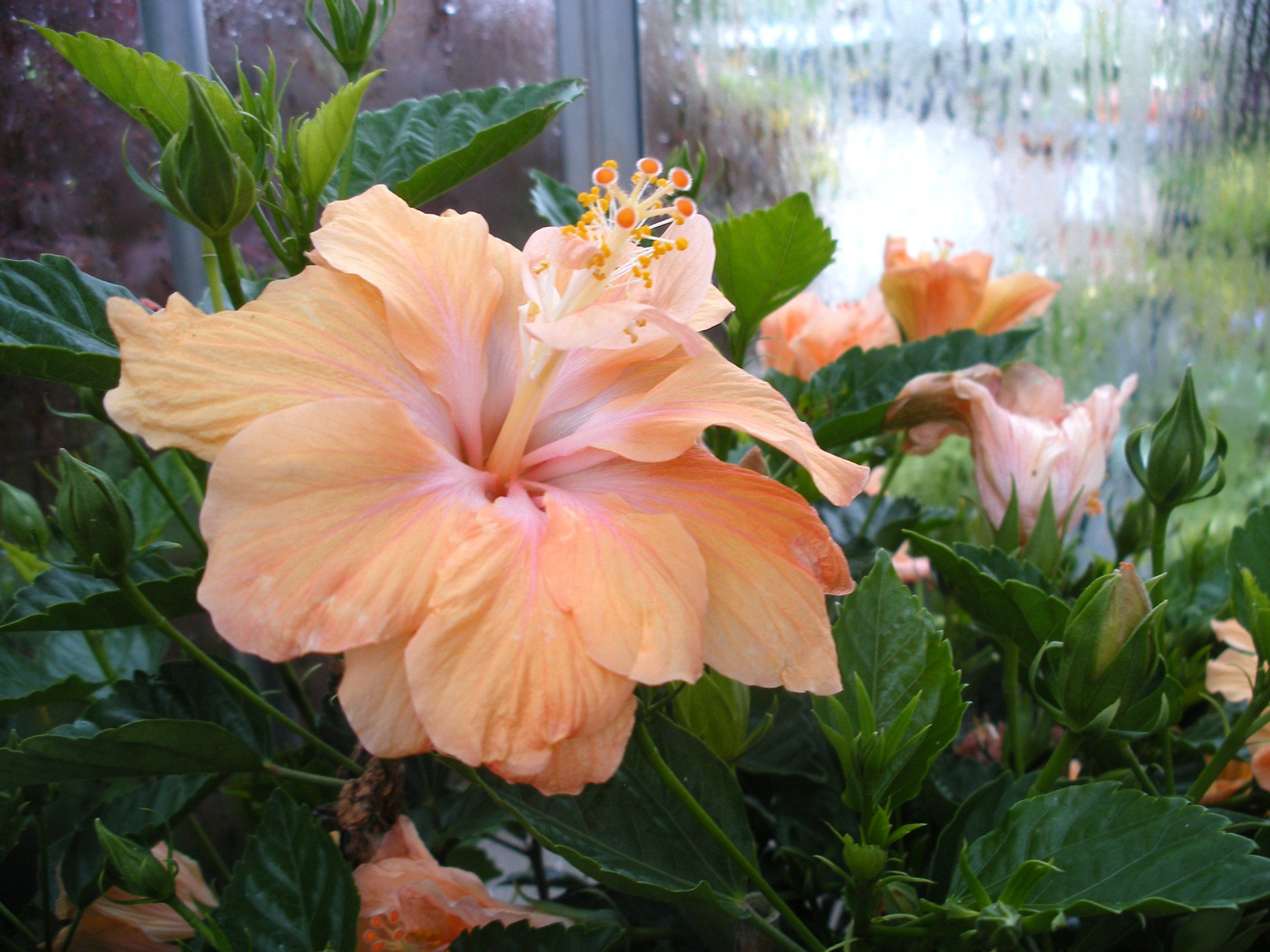 Tropical hibiscus info and care plant care and gardening tips tropical hibiscus info and care izmirmasajfo