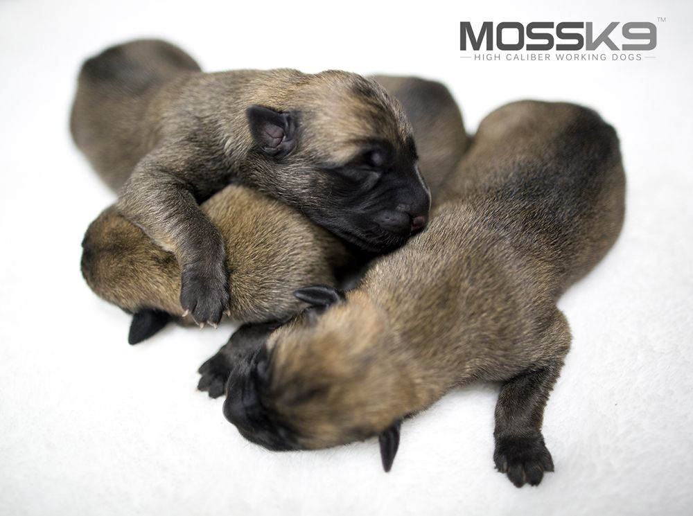 Knpv Belgian Malinois Puppies Moss K9 Cute Baby Animals Puppy Malinois Puppies Malinois Dog Malinois Puppies For Sale