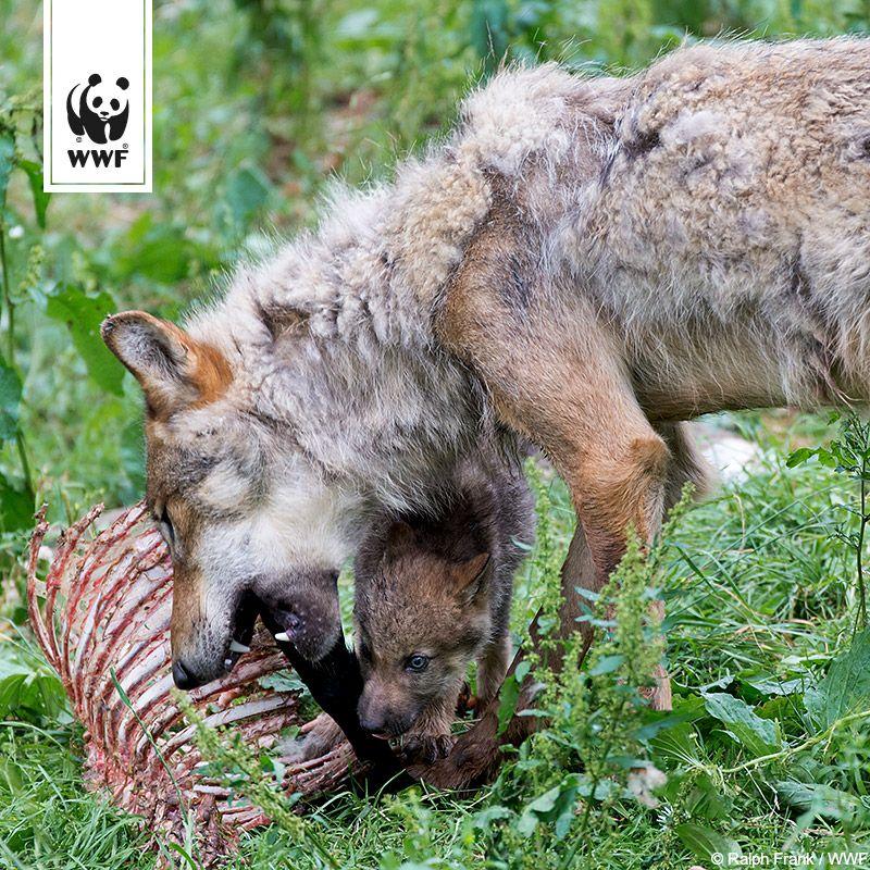 Wolfswelpen mit blauen Augen?  Wusstet ihr, dass sich die Augenfarbe von Wölfen erst nach einigen Monaten in den typischen Gelbton wandelt? Mehr Wolfsfakten unter: www.wwf.de/bild-des-tages