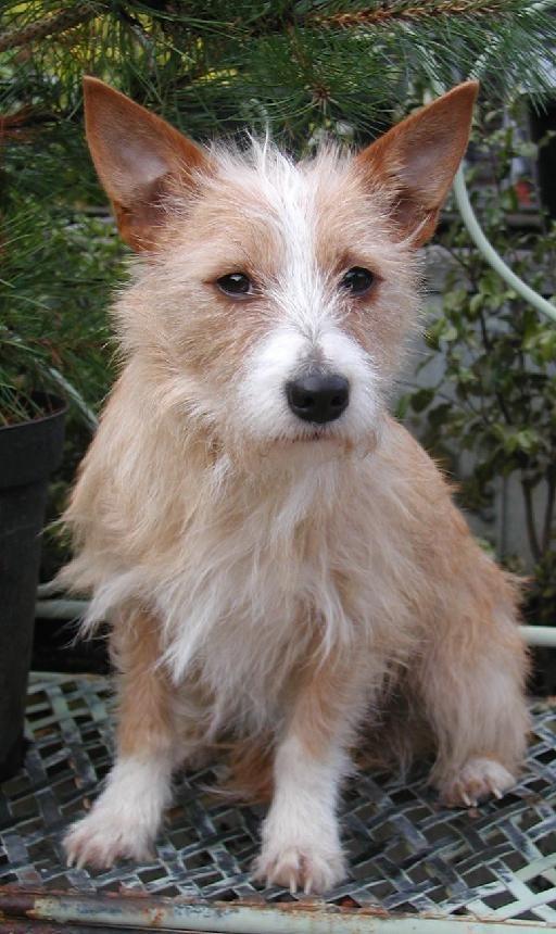Wix Com Purebred Dogs Portuguese Podengo Dog Breeds