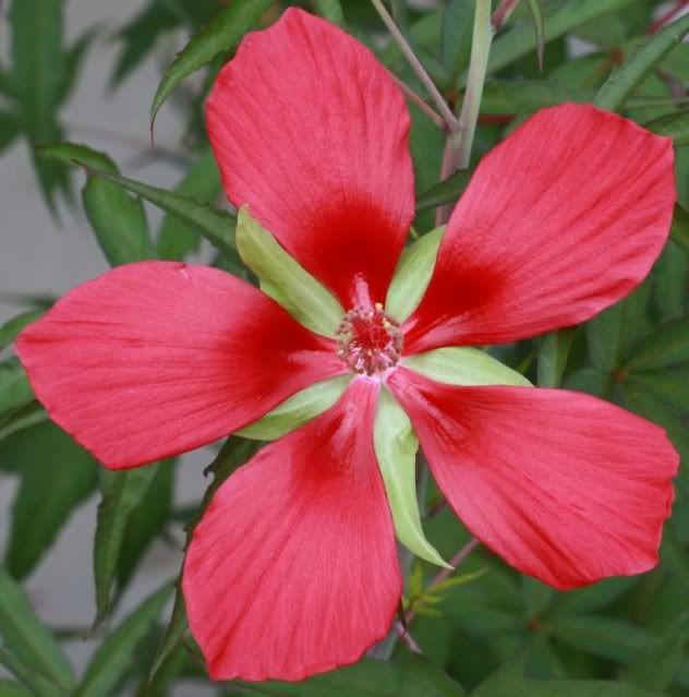 Texas Star Hibiscus Just Plain Pretty Hibiscus Texas Star
