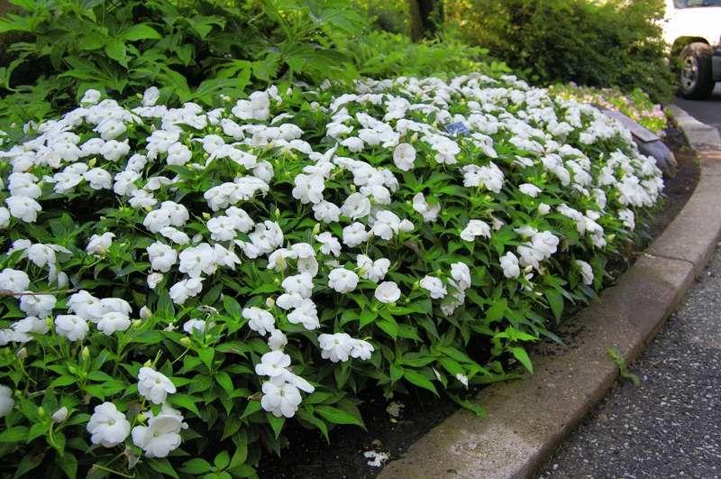 Impatiens walker Infinity White New Guinea Impatiens will ... White Impatiens Flowers