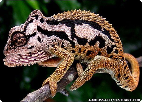 хамелеон фото - Поиск в Google