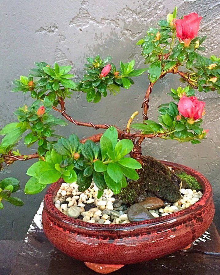 Azalea Scarlet Dragon  Bonsai's first flowers. #bonsai #miniaturetree #minitree #plants #azalea #asianstyle #asiangarden #asianart #azaleascarletdragon#babybonsaidesigns #livelovegeelong #bellarinepeninsula #oceangrove #christianjcreations by christianjcreations http://ift.tt/1JO3Y6G