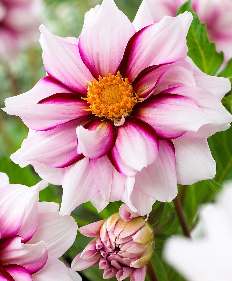 Dahlia uedge of joyu dahlias pinterest dahlia flowers and