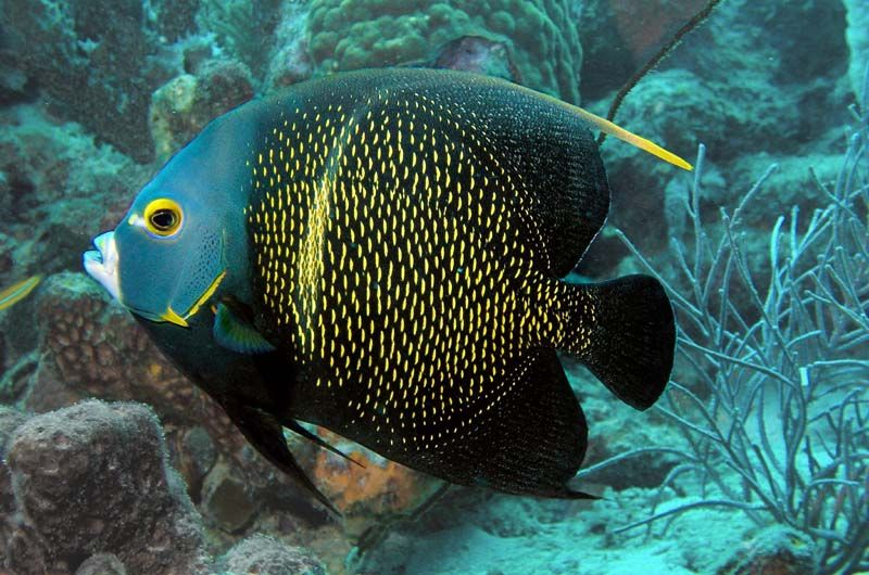 Http Coreyfischer Com Images Bonaire Collection Intermediate 20french 20angelfish Jpg Angel Fish Saltwater Fish Tanks Marine Fish