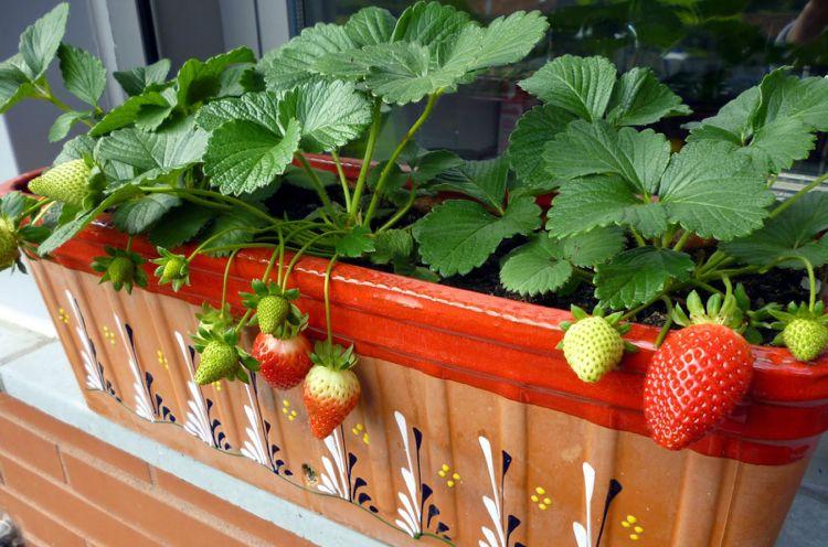 Erdbeeren Auf Dem Balkon Pflanzen Wissenswertes Zu Standort Und