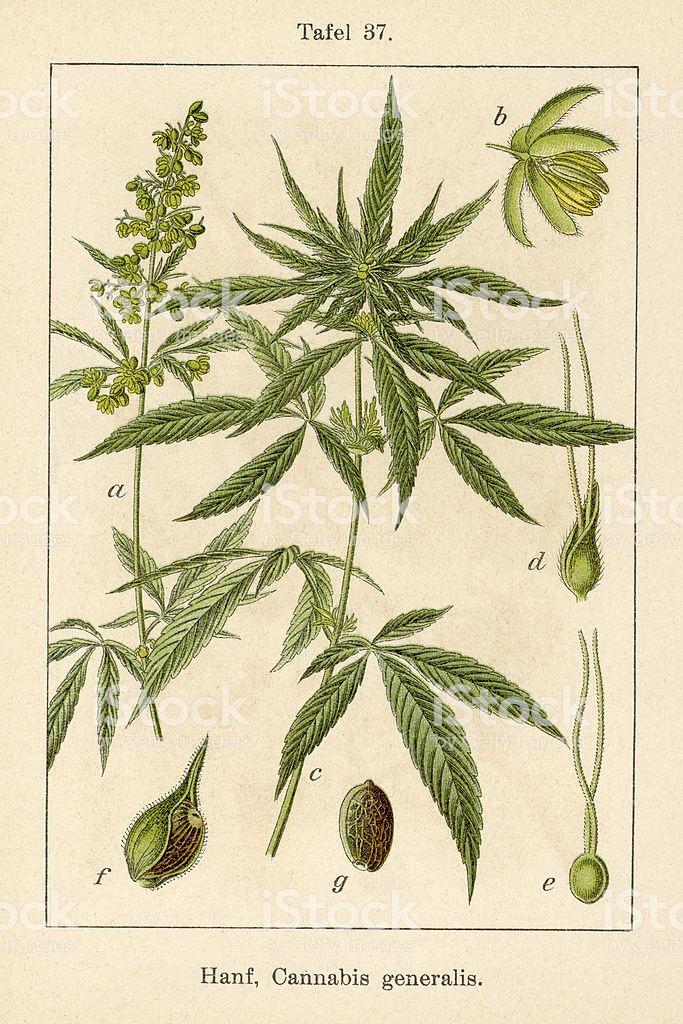 Antique Flower Illustrations from Deutschlands Flora in Abbildungen...
