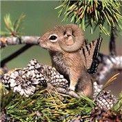 Bighorn Buttersquirrel