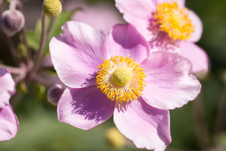 Anemone Anemone Pink Autumn Autumn Garden Bloom Blossom Close