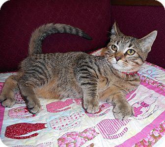 Alexandria, MN - Domestic Shorthair. Meet Greer, a cat for adoption. http://www.adoptapet.com/pet/11957867-alexandria-minnesota-cat