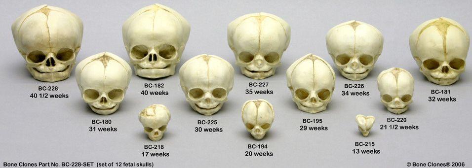 Baby Skull Development Human Skulls Pinterest Human Skull