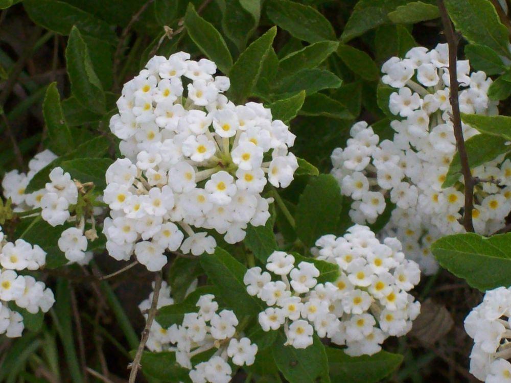 Lantana lemon white container flowers plants garden