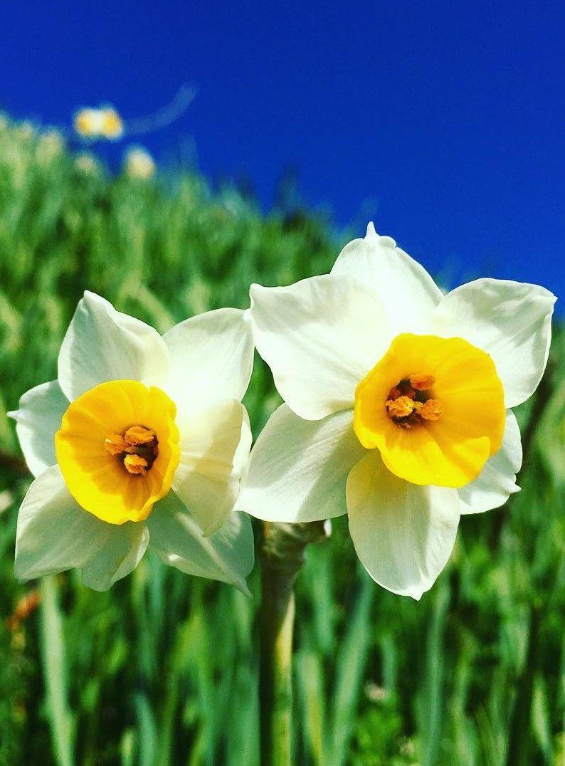 Nada Kuroiwa Narcissus Field Hyogo Japan Flower Narcissus Flowers Daffodils