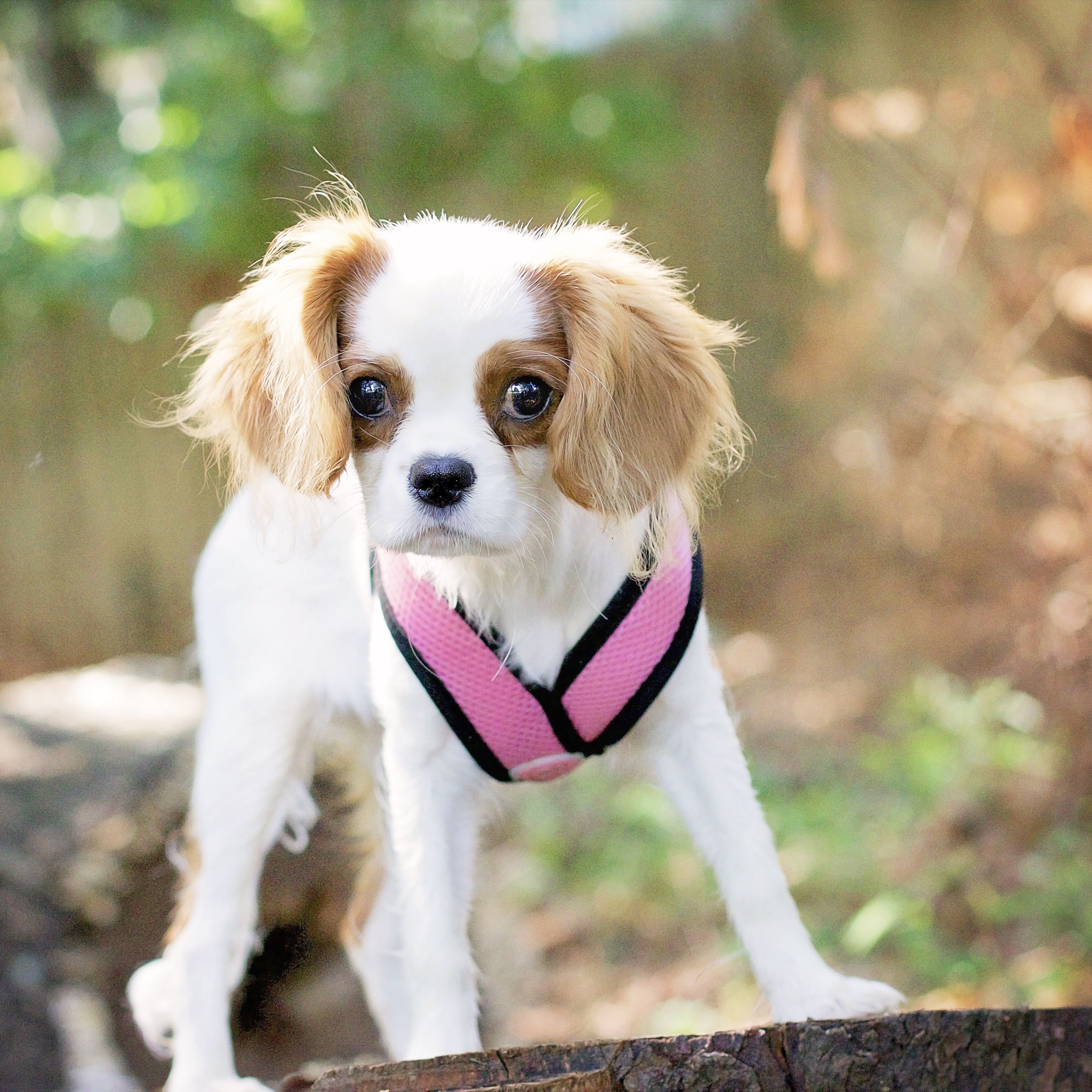 Anna Lee Rose Cavalier King Charles Spaniel By Leanne Newman Hunde