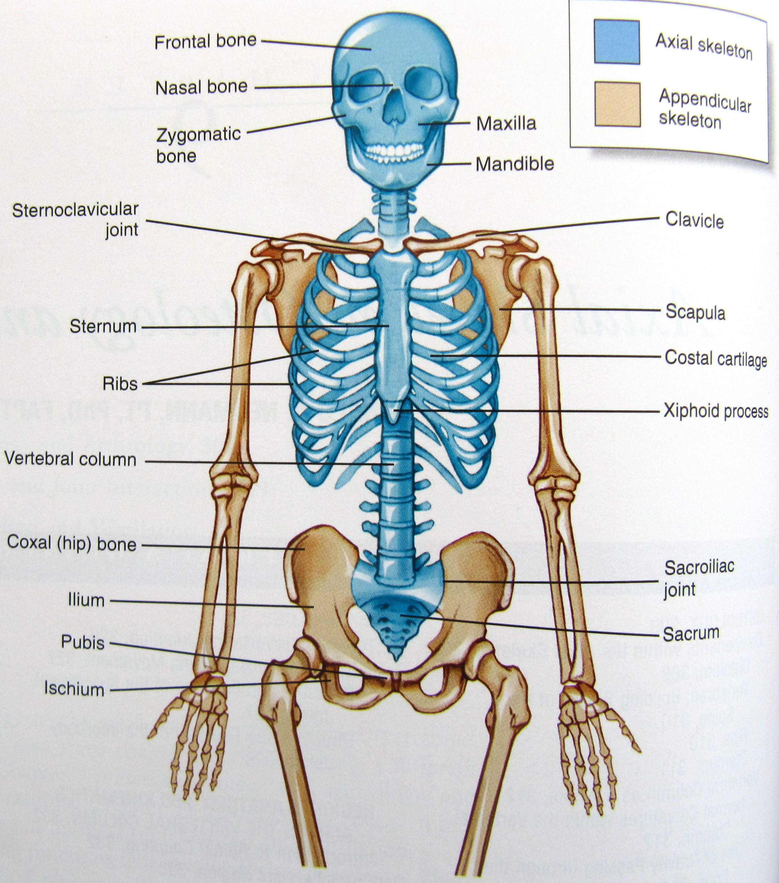 human axial skeleton pictures, copy half and have student use, Skeleton