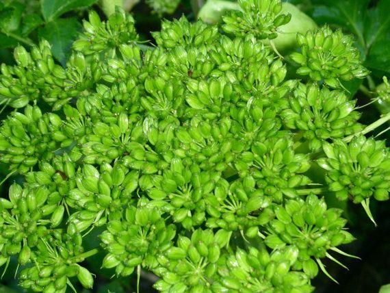 ashitaba seeds by natureshapes on Etsy, $6.50