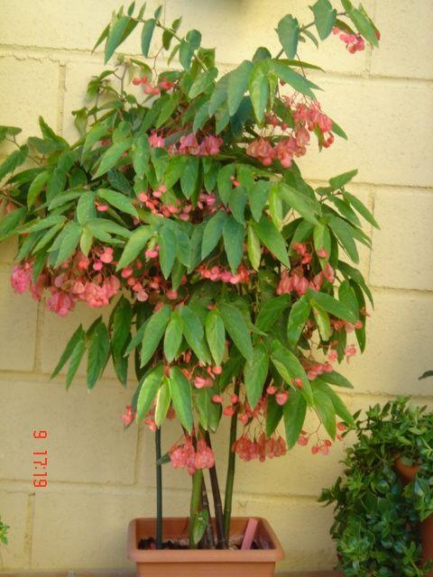 begonia maculata subarbusto ou arbusto touceira poco ramificada at 2 5m pleno sol ou. Black Bedroom Furniture Sets. Home Design Ideas