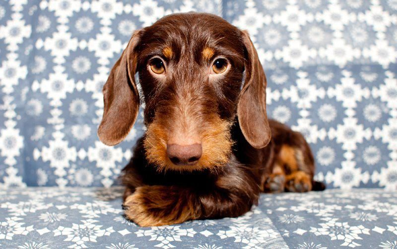 brutus  dackelblick  dackel ich liebe hunde dackelwelpen