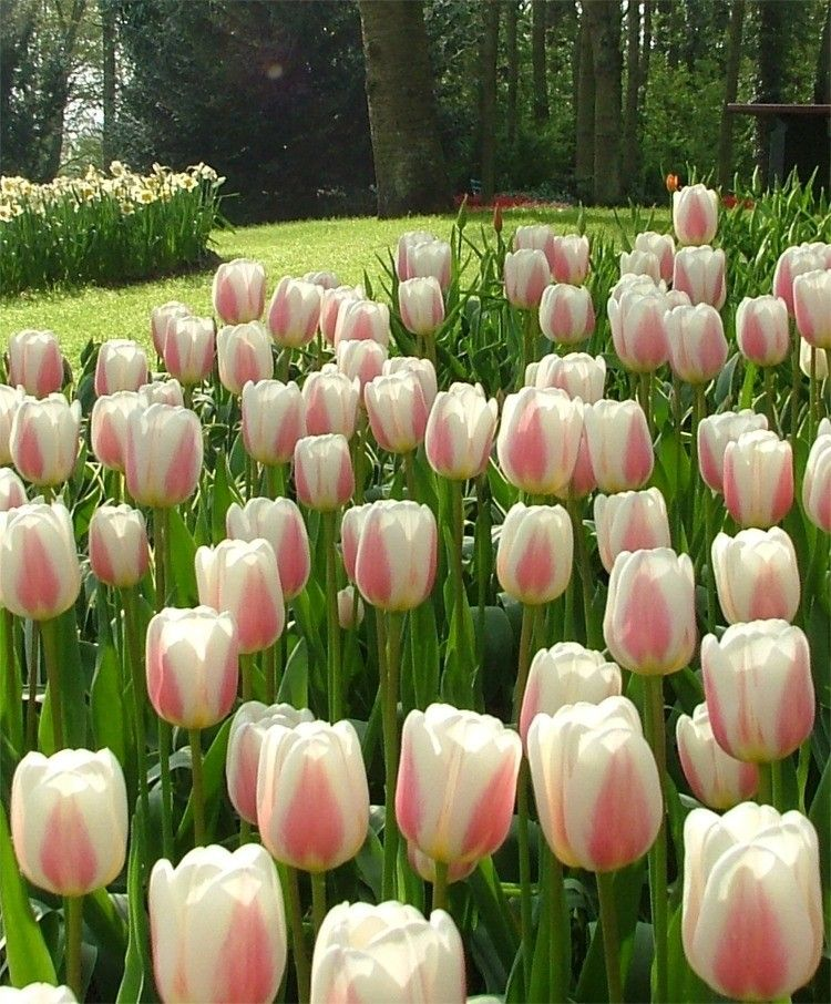 """Triumph Tulip 'Beau Monde'. Tulipa. 24-30"""" tall. Blooms mid April to May."""