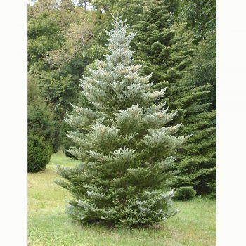 Abies Koreana Silberlocke Tree 5th Season Plant Picks