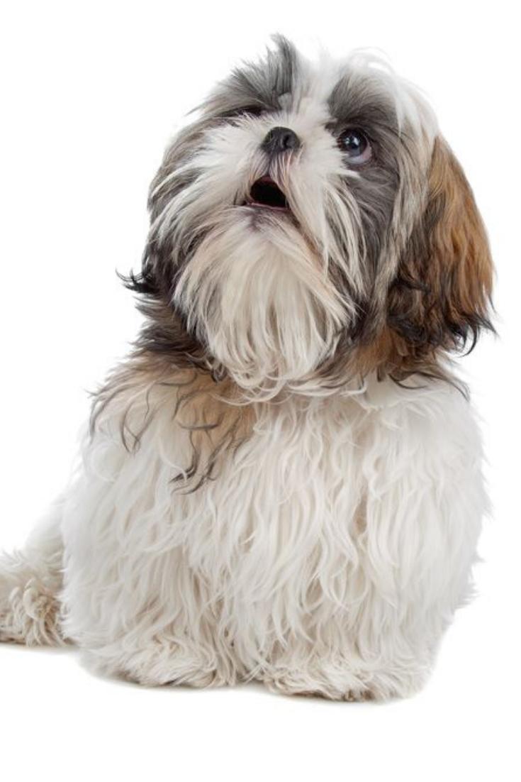 Shih Tzu Isolated On White Shihtzu Shih Tzu Dogs Animals