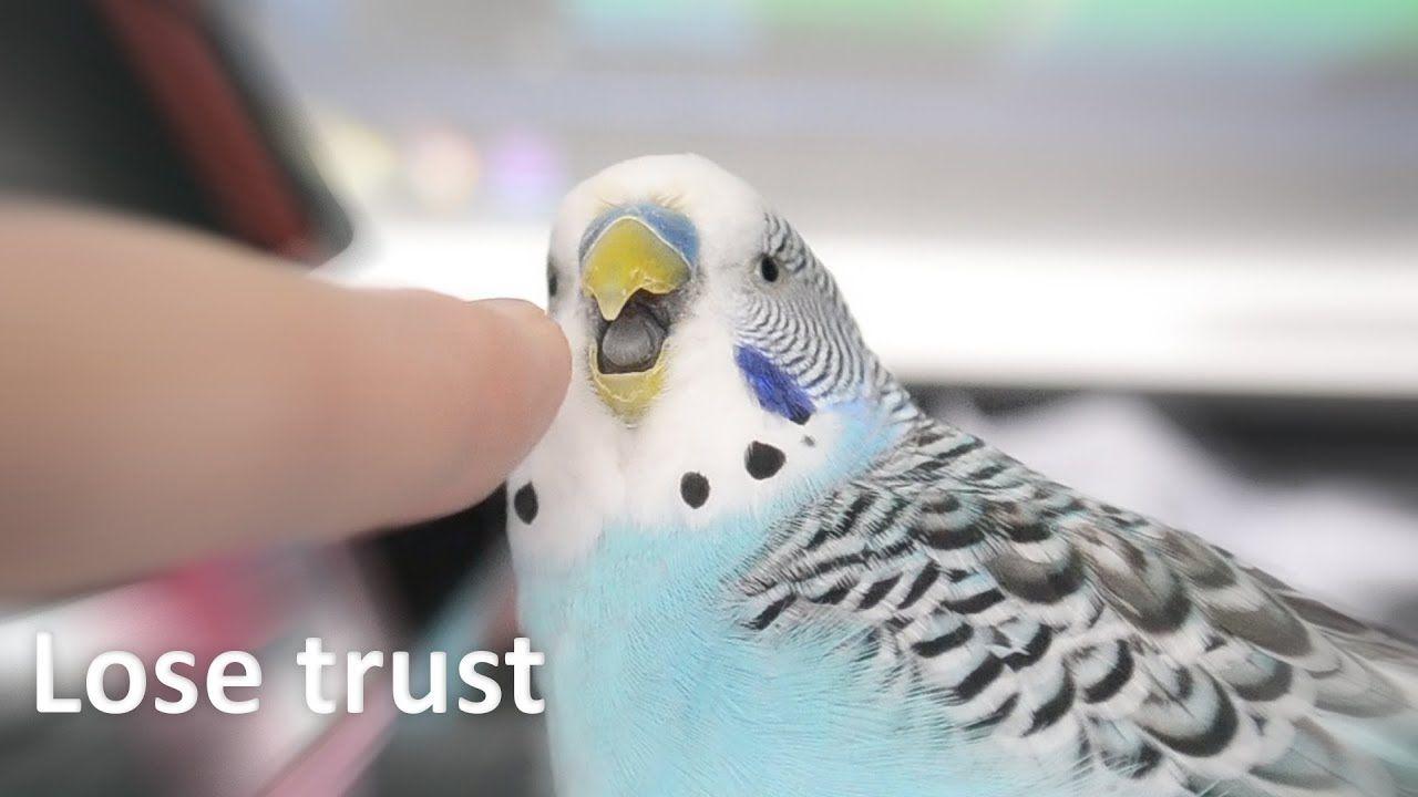 3 Ways To Lose Your Parrot S Trust Pet Bird Cage Budgies Bird Parakeet Care