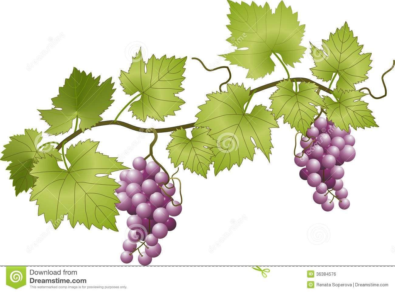images of grape vines - photo #43