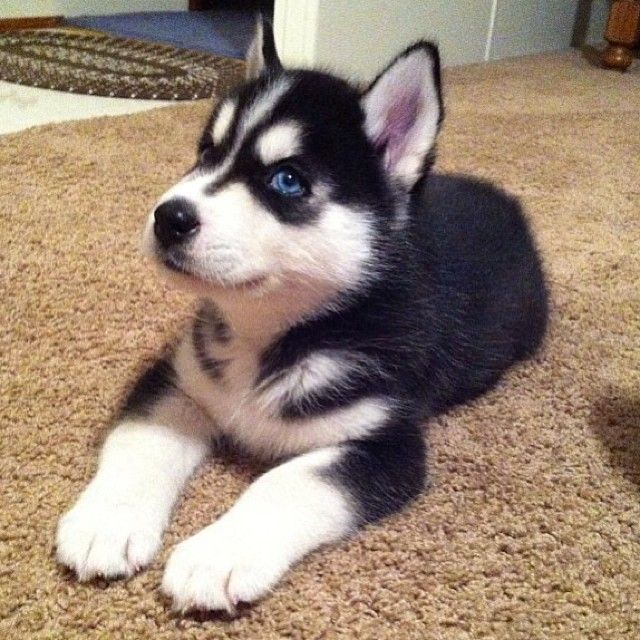 Owner Tagged New Puppy Padgram Cute Baby Animals Puppies