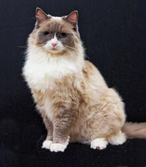 Waltzing Matilda: The Famous Algonquin Cat  ... from PetsLady.com ... The FUN site for Animal Lovers