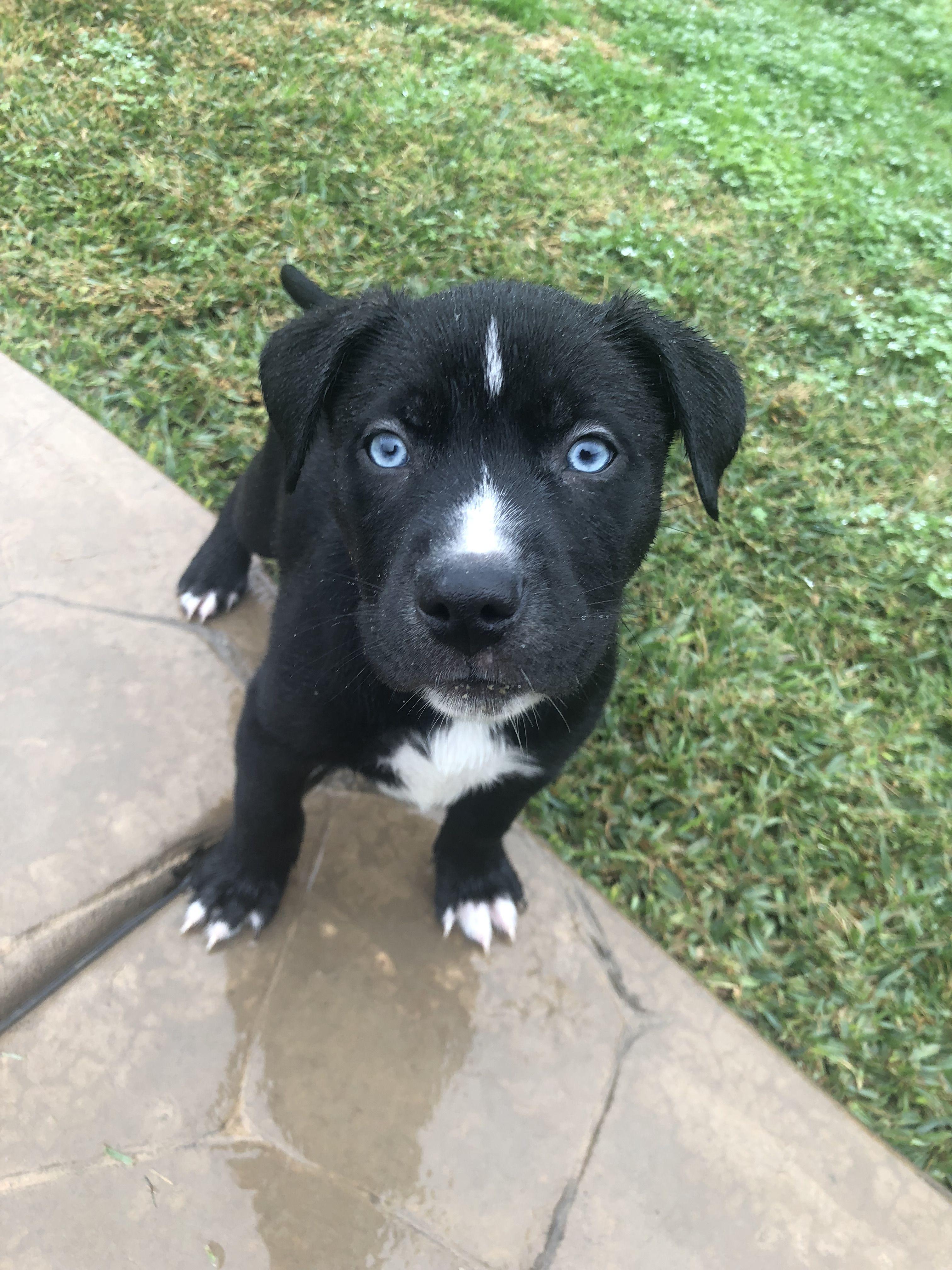 Pitsky Pitbull Husky Blue Eyes Baby Puppies Tiny Puppies